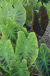 Illustris Elephant Ear (Colocasia esculenta 'Illustris') at Riverbend Nurseries