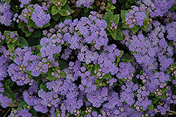 Aloha Blue Flossflower (Ageratum 'Aloha Blue') at Riverbend Nurseries