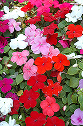 Super Elfin® Mix Impatiens (Impatiens walleriana 'Super Elfin Mix') at Riverbend Nurseries