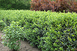 Dwarf Burford Chinese Holly (Ilex cornuta 'Dwarf Burford') at Riverbend Nurseries