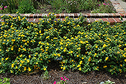 Little Lucky™ Pot Of Gold Lantana (Lantana camara 'Little Lucky Pot Of Gold') at Riverbend Nurseries