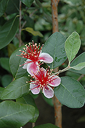 Pineapple Guava (Acca sellowiana) at Riverbend Nurseries