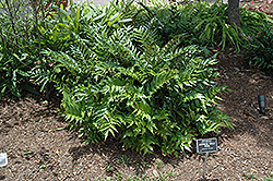 Japanese Holly Fern (Cyrtomium falcatum) at Riverbend Nurseries