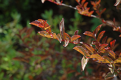 Cherry Dazzle Crapemyrtle (Lagerstroemia indica 'Gamad 1') at Riverbend Nurseries