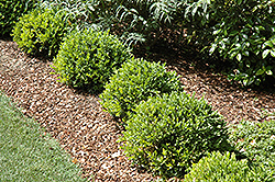 Green Velvet Boxwood (Buxus 'Green Velvet') at Riverbend Nurseries