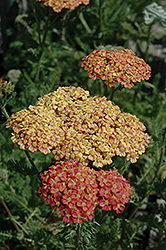 Desert Eve™ Terracotta Yarrow (Achillea millefolium 'Desert Eve Terracotta') at Riverbend Nurseries