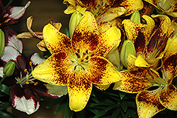 Tiny Nugget Lily (Lilium 'Tiny Nugget') at Riverbend Nurseries