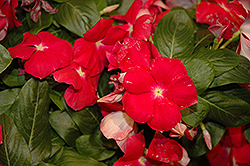 Cora® Cascade Cherry Vinca (Catharanthus roseus 'Cora Cascade Cherry') at Riverbend Nurseries