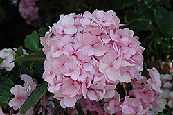 All Summer Beauty Hydrangea (Hydrangea macrophylla 'All Summer Beauty') at Riverbend Nurseries