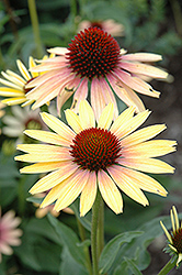Evening Glow Coneflower (Echinacea 'Evening Glow') at Riverbend Nurseries
