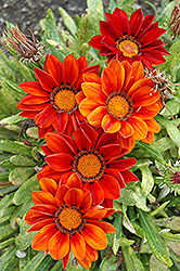 New Day Clear Red Shades (Gazania 'New Day Red Shades') at Riverbend Nurseries