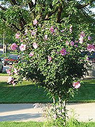 Aphrodite Rose of Sharon (Hibiscus syriacus 'Aphrodite') at Riverbend Nurseries