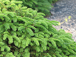 Birds Nest Spruce (Picea abies 'Nidiformis') at Riverbend Nurseries