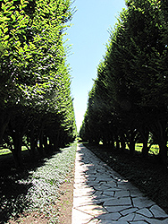 Pyramidal European Hornbeam (Carpinus betulus 'Fastigiata') at Riverbend Nurseries