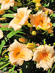 Mini Pearl Daylily (Hemerocallis 'Mini Pearl') at Riverbend Nurseries