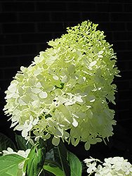 Limelight Hydrangea (Hydrangea paniculata 'Limelight') at Riverbend Nurseries