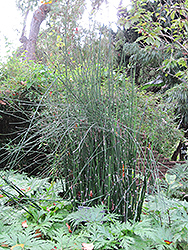 Horsetail (Equisetum hyemale) at Riverbend Nurseries