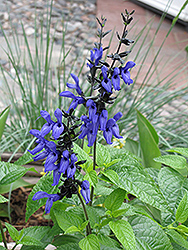 Black And Blue Anise Sage (Salvia guaranitica 'Black And Blue') at Riverbend Nurseries