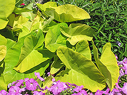 Royal Hawaiian® Maui Gold Elephant Ear (Colocasia esculenta 'Maui Gold') at Riverbend Nurseries