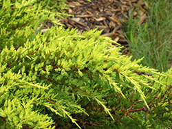 Daub's Frosted Juniper (Juniperus x media 'Daub's Frosted') at Riverbend Nurseries
