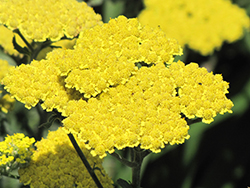 Moonshine Yarrow (Achillea 'Moonshine') at Riverbend Nurseries