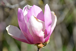 Jane Magnolia (Magnolia 'Jane') at Riverbend Nurseries