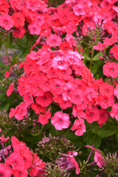 Peacock™ Cherry Red Garden Phlox (Phlox paniculata 'Peacock Cherry Red') at Riverbend Nurseries