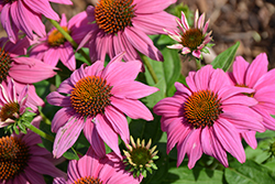 PowWow Wild Berry Coneflower (Echinacea purpurea 'PowWow Wild Berry') at Riverbend Nurseries