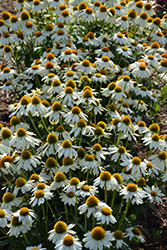 PowWow White Coneflower (Echinacea purpurea 'PowWow White') at Riverbend Nurseries