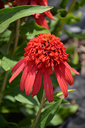 Cone-fections™ Hot Papaya Coneflower (Echinacea 'Hot Papaya') at Riverbend Nurseries