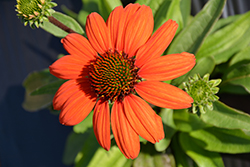 Kismet® Intense Orange Coneflower (Echinacea 'TNECHKIO') at Riverbend Nurseries