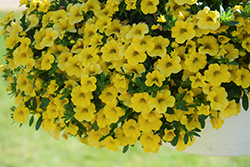 Conga™ Deep Yellow Calibrachoa (Calibrachoa 'Balcongdel') at Riverbend Nurseries