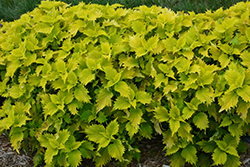 Wasabi Coleus (Solenostemon scutellarioides 'Wasabi') at Riverbend Nurseries