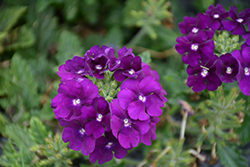Firehouse™ Purple Verbena (Verbena 'Balfirepur') at Riverbend Nurseries