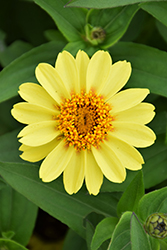 Zahara® XL Yellow Zinnia (Zinnia 'Zahara XL Yellow') at Riverbend Nurseries