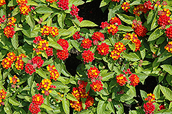 Little Lucky™ Red Lantana (Lantana camara 'Little Lucky Red') at Riverbend Nurseries