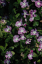 Titan™ Lavender Blue Halo Vinca (Catharanthus roseus 'Titan Lavender Blue Halo') at Riverbend Nurseries