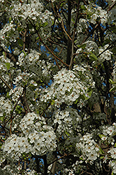 Chanticleer Ornamental Pear (Pyrus calleryana 'Chanticleer') at Riverbend Nurseries