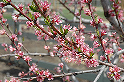 Redhaven Peach (Prunus persica 'Redhaven') at Riverbend Nurseries