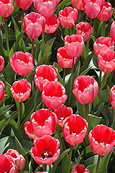 Pink Impression Tulip (Tulipa 'Pink Impression') at Riverbend Nurseries