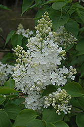 Betsy Ross Lilac (Syringa 'Betsy Ross') at Riverbend Nurseries