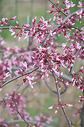 Cascading Hearts Redbud (Cercis canadensis 'Cascading Hearts') at Riverbend Nurseries