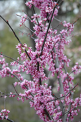 Forest Pansy Redbud (Cercis canadensis 'Forest Pansy') at Riverbend Nurseries