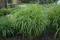 Porcupine Grass (Miscanthus sinensis 'Strictus') at Riverbend Nurseries