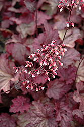Berry Smoothie Coral Bells (Heuchera 'Berry Smoothie') at Riverbend Nurseries