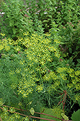 Dill (Anethum graveolens) at Riverbend Nurseries