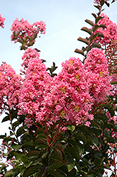 Sioux Crapemyrtle (Lagerstroemia 'Sioux') at Riverbend Nurseries