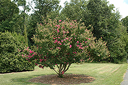Tonto Crapemyrtle (Lagerstroemia 'Tonto') at Riverbend Nurseries