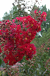 Arapaho Crapemyrtle (Lagerstroemia 'Arapaho') at Riverbend Nurseries