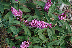 Lo And Behold® Pink Micro Chip Dwarf Butterfly Bush (Buddleia 'Lo And Behold Pink Micro Chip') at Riverbend Nurseries